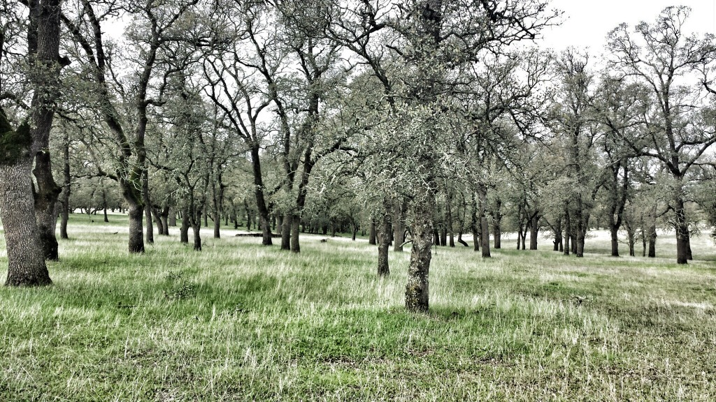 We spent the day at Guidici Ranch learning biological monitoring. We spent the day in these  stands of oak trees and rolling grassy hills.