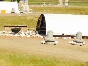 meat chickens, free range, holistic management