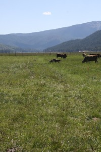 holistic planned grazing, Indian Valley, California