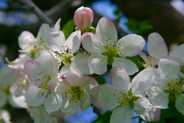 apple blossoms, family ranching, holistic management,