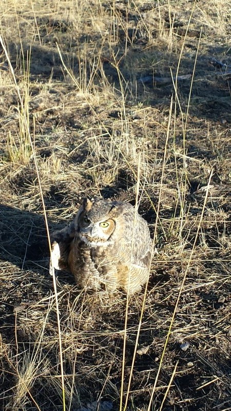 great-horned owl, ranch, holistic management