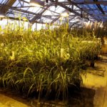 kernza, land institute, perennial, grasses